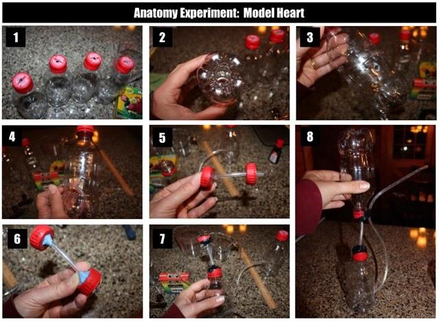Make a Pumping Model Heart : Half a Hundred Acre Wood